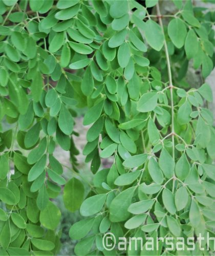 moringa-leaves-on-tree-ink